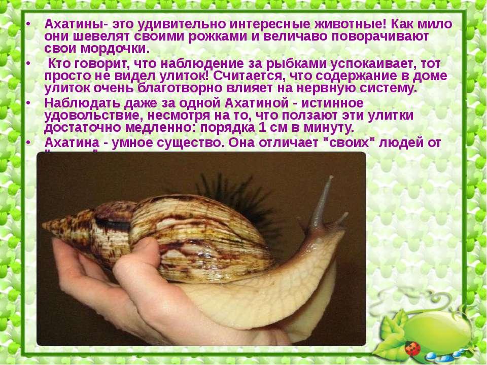 Ахатины- это удивительно интересные животные! Как мило они шевелят своими рож...