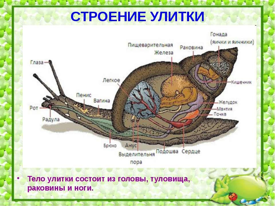 СТРОЕНИЕ УЛИТКИ Тело улитки состоит из головы, туловища, раковины и ноги.