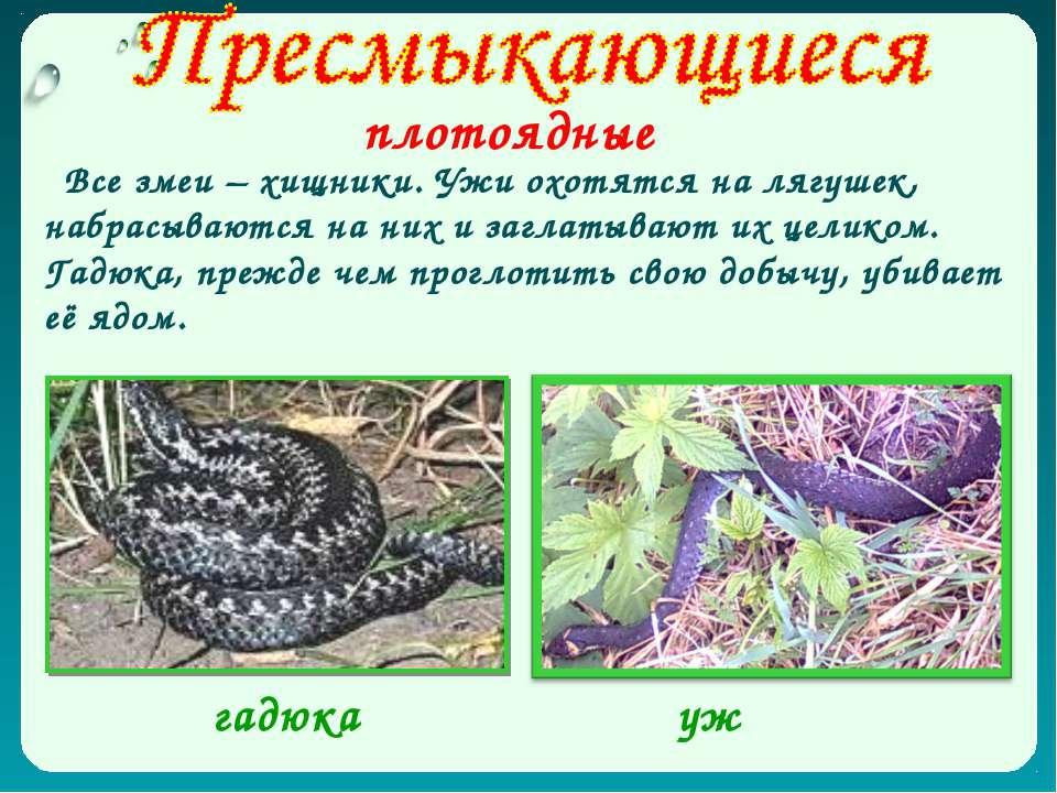 плотоядные Все змеи – хищники. Ужи охотятся на лягушек, набрасываются на них ...
