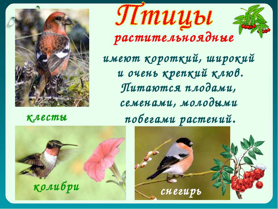 растительноядные имеют короткий, широкий и очень крепкий клюв. Питаются плода...