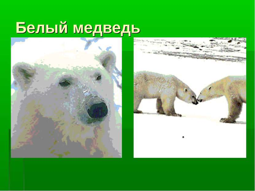 Белый медведь .