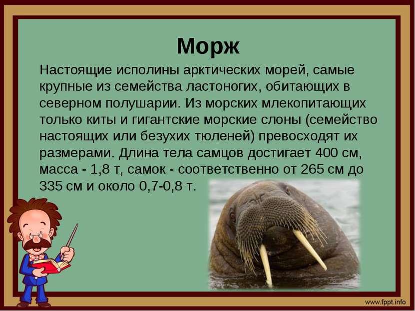 Морж Настоящие исполины арктических морей, самые крупные из семейства ластоно...