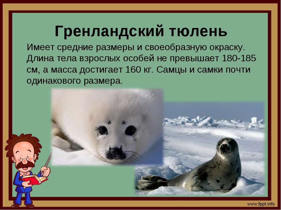 Гренландский тюлень Имеет средние размеры и своеобразную окраску. Длина тела ...