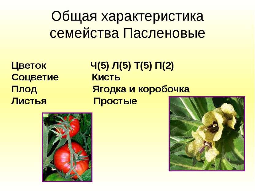 Общая характеристика семейства Пасленовые Цветок Ч(5) Л(5) Т(5) П(2) Соцветие...