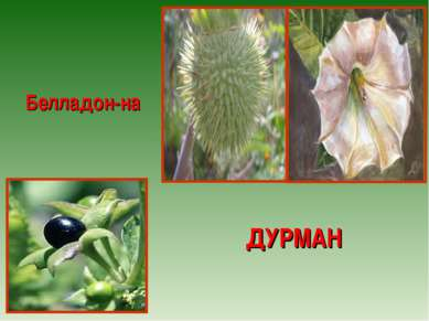ДУРМАН Белладон-на