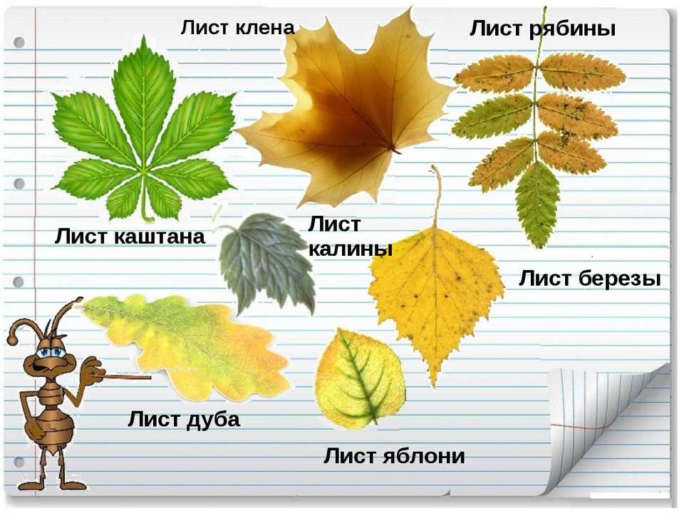 листья каштана летом и осенью фото