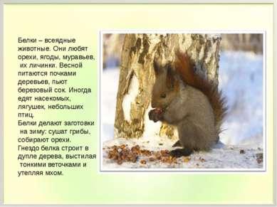 Белки – всеядные животные. Они любят орехи, ягоды, муравьев, их личинки. Весн...