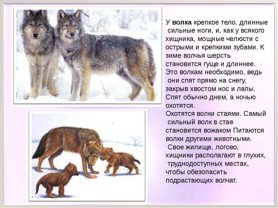 У волка крепкое тело, длинные сильные ноги, и, как у всякого хищника, мощные ...