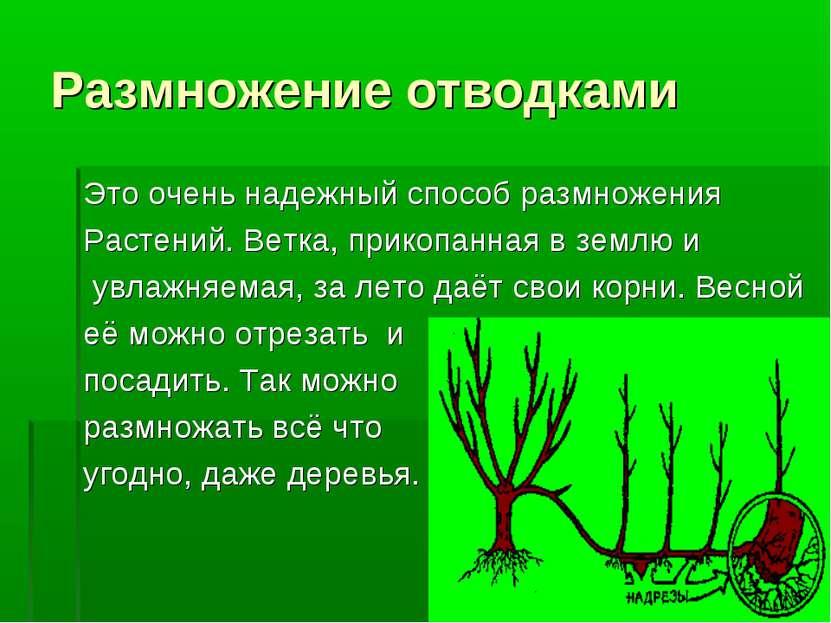 Размножение отводками Это очень надежный способ размножения Растений. Ветка, ...