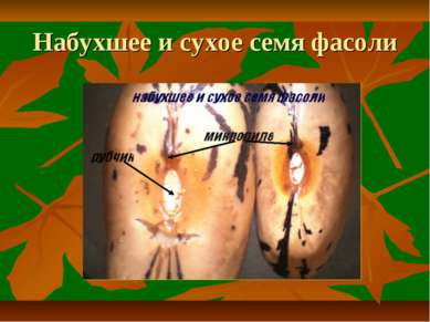 Набухшее и сухое семя фасоли