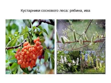 Кустарники соснового леса: рябина, ива