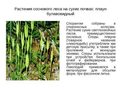 Растения соснового леса на сухих почвах: плаун булавовидный Спорангии собраны...