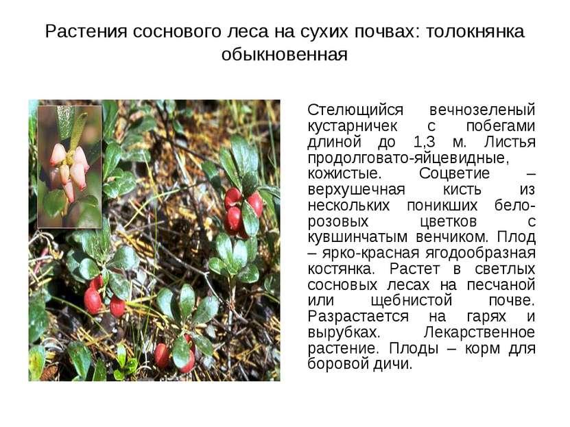 Растения соснового леса на сухих почвах: толокнянка обыкновенная Стелющийся в...