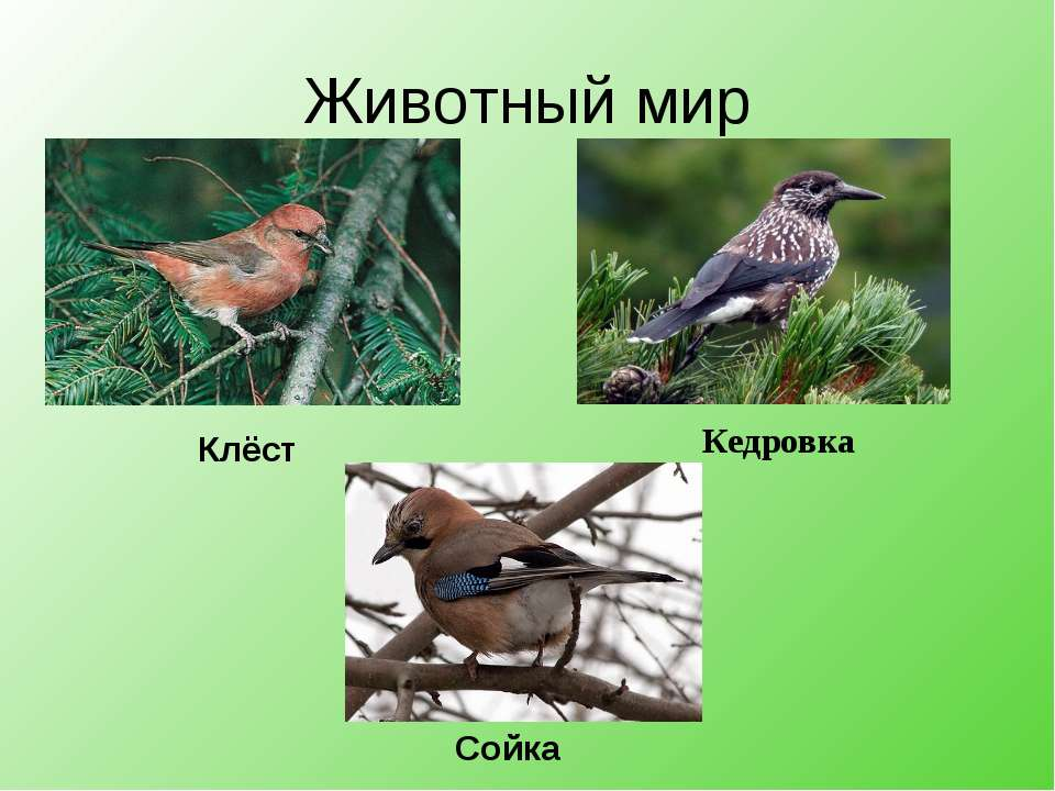 Животный мир Клёст Кедровка Сойка