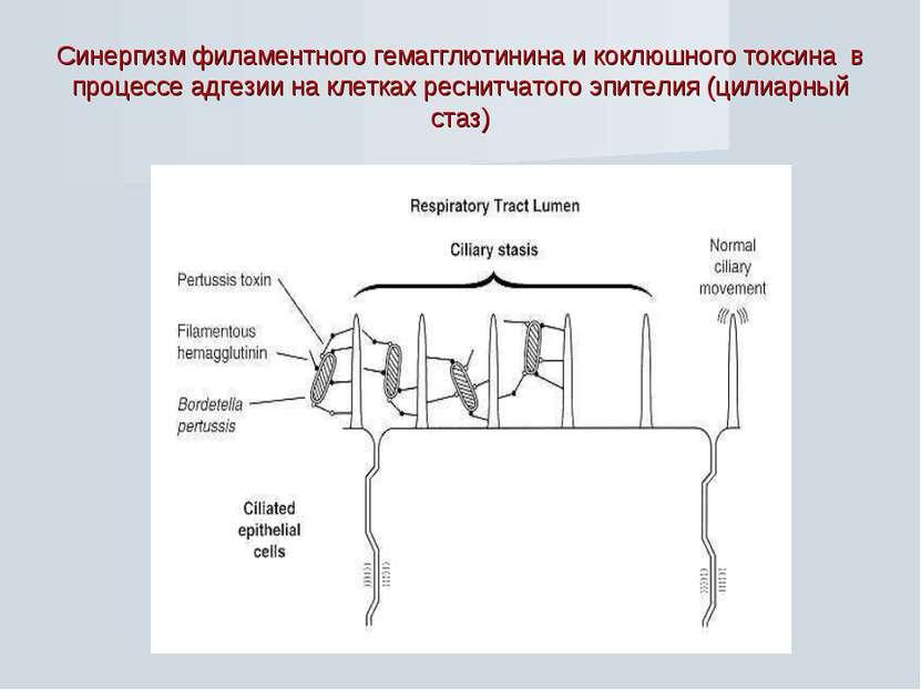 Синергизм филаментного гемагглютинина и коклюшного токсина в процессе адгезии...
