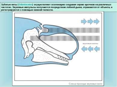 Зубатые киты (Odontocetes) осуществляют эхолокацию создавая серию щелчков на ...