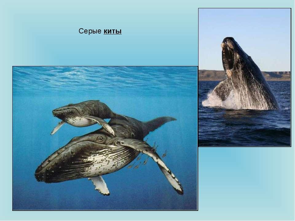 Серые киты