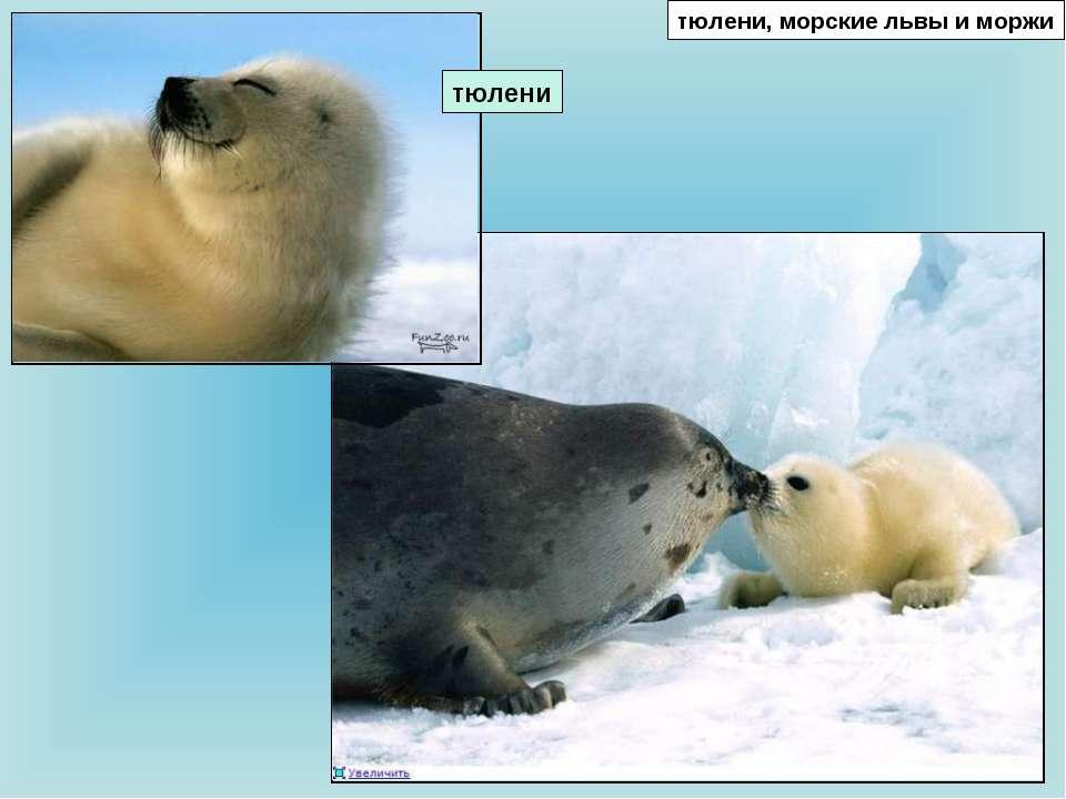 тюлени, морские львы и моржи тюлени