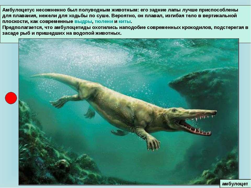Амбулоцетус несомненно был полуводным животным: его задние лапы лучше приспос...