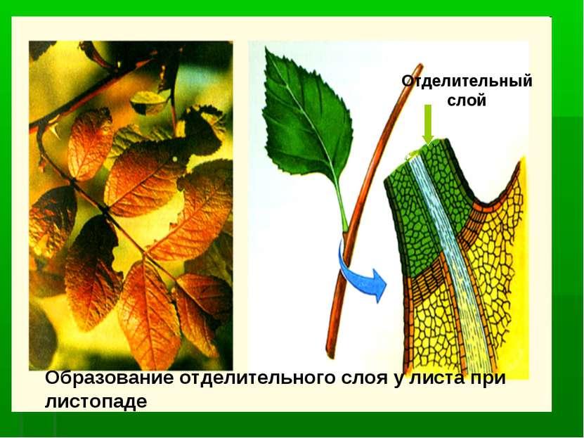 Образование отделительного слоя у листа при листопаде Отделительный слой