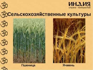 Сельскохозяйственные культуры Пшеница Ячмень