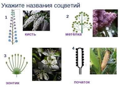 Укажите названия соцветий 1 2 3 4 кисть зонтик початок метёлка