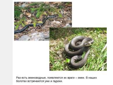 Раз есть земноводные, появляются их враги – змеи. В наших болотах встречаются...