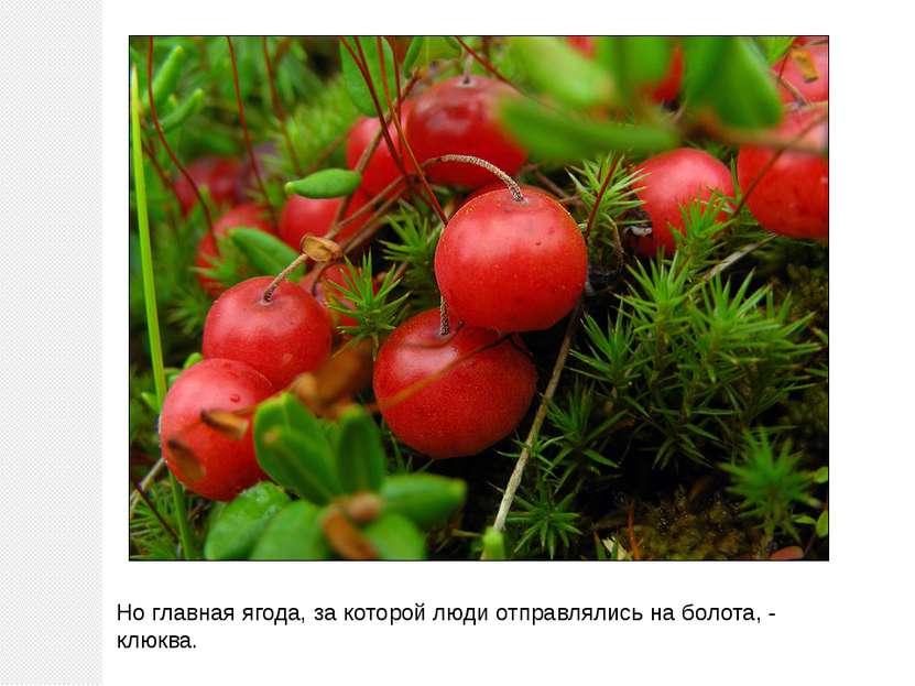 Но главная ягода, за которой люди отправлялись на болота, - клюква.