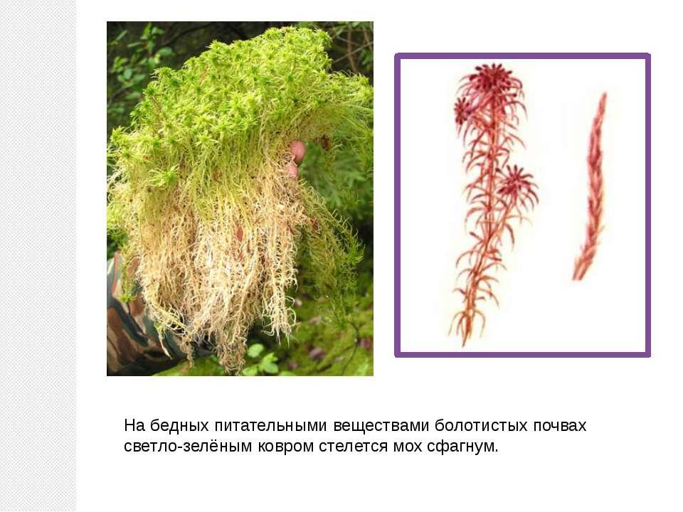 На бедных питательными веществами болотистых почвах светло-зелёным ковром сте...