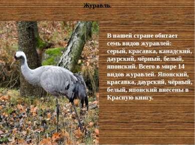 В нашей стране обитает семь видов журавлей: серый, красавка, канадский, даурс...