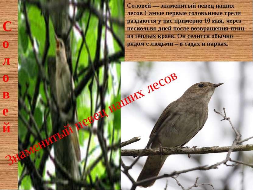 Соловей — знаменитый певец наших лесов Самые первые соловьиные трели раздаютс...