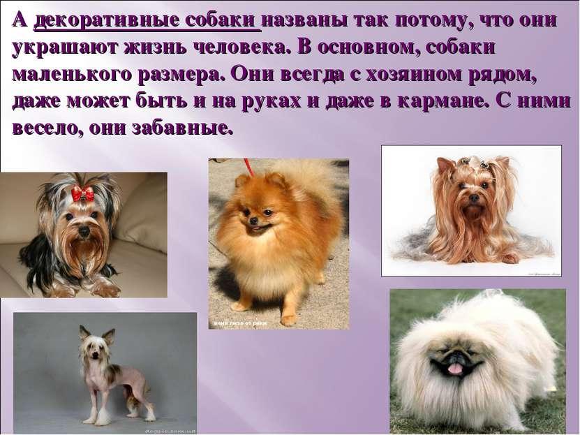 А декоративные собаки названы так потому, что они украшают жизнь человека. В ...