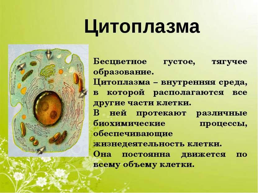 Цитоплазма Бесцветное густое, тягучее образование. Цитоплазма – внутренняя ср...