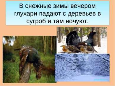 В снежные зимы вечером глухари падают с деревьев в сугроб и там ночуют.
