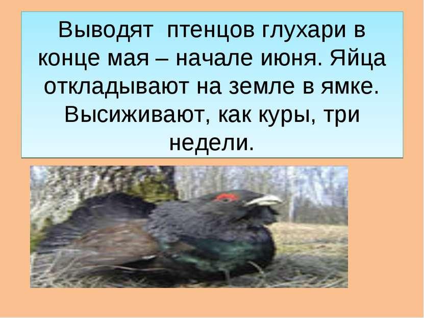 Выводят птенцов глухари в конце мая – начале июня. Яйца откладывают на земле ...