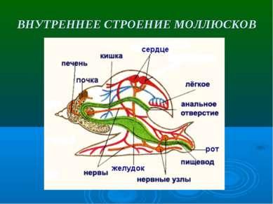 ВНУТРЕННЕЕ СТРОЕНИЕ МОЛЛЮСКОВ