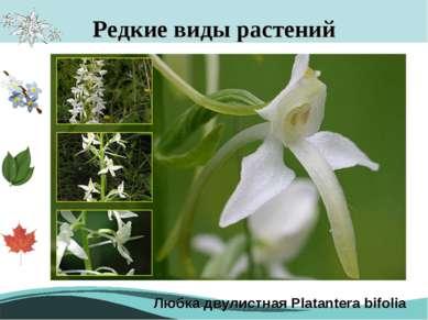 Редкие виды растений Любка двулистная Platantera bifolia