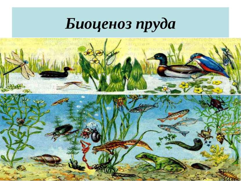 Биоценоз пруда