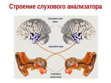 Строение слухового анализатора Слуховые рецепторы слуховой нерв Слуховая зона...