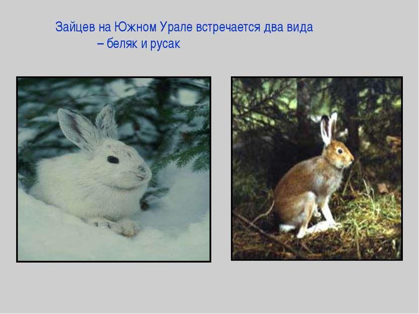 Зайцев на Южном Урале встречается два вида – беляк и русак