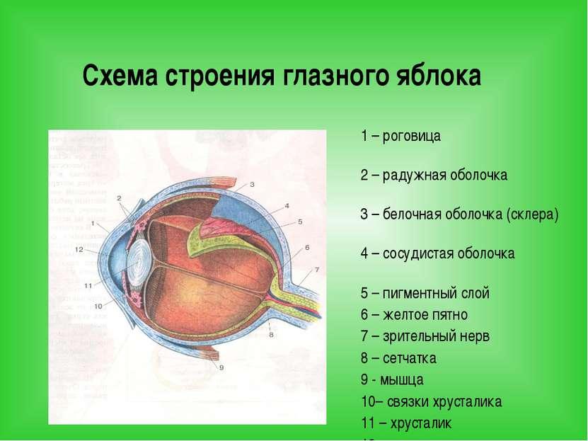 Схема строения глазного яблока 1 – роговица 2 – радужная оболочка 3 – белочна...