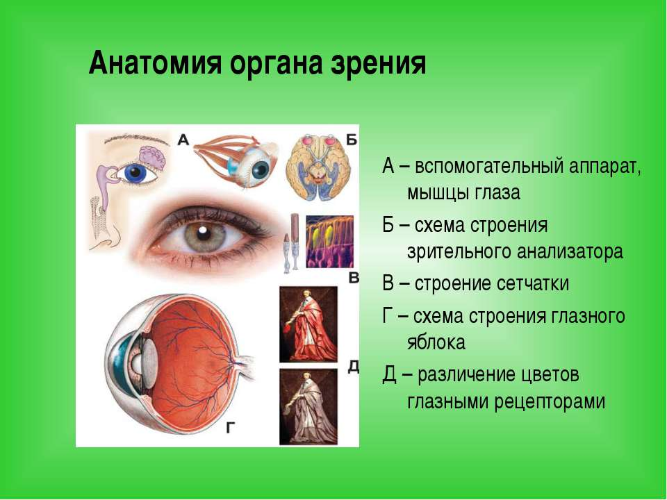Анатомия органа зрения А – вспомогательный аппарат, мышцы глаза Б – схема стр...