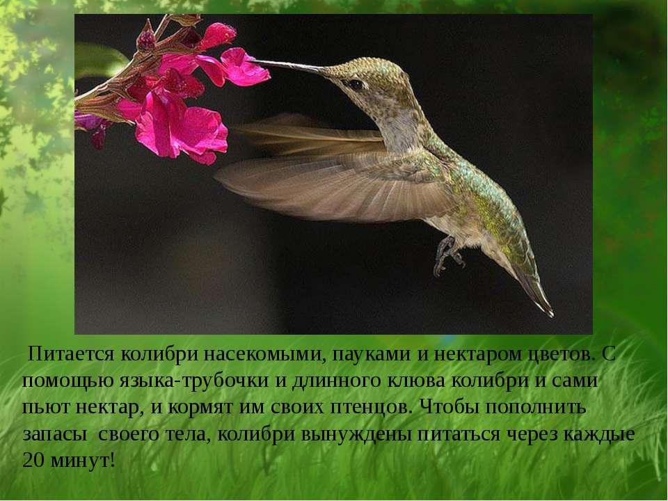 Питается колибри насекомыми, пауками и нектаром цветов. С помощью языка-трубо...