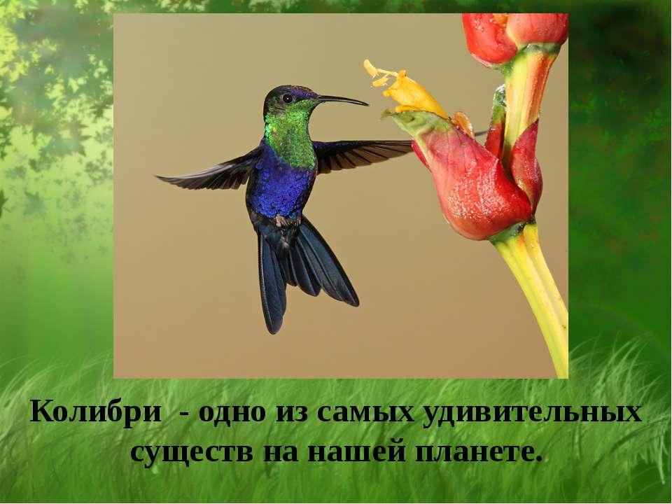 Колибри - одно из самых удивительных существ на нашей планете.