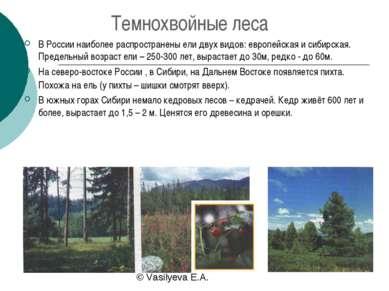 Темнохвойные леса В России наиболее распространены ели двух видов: европейска...
