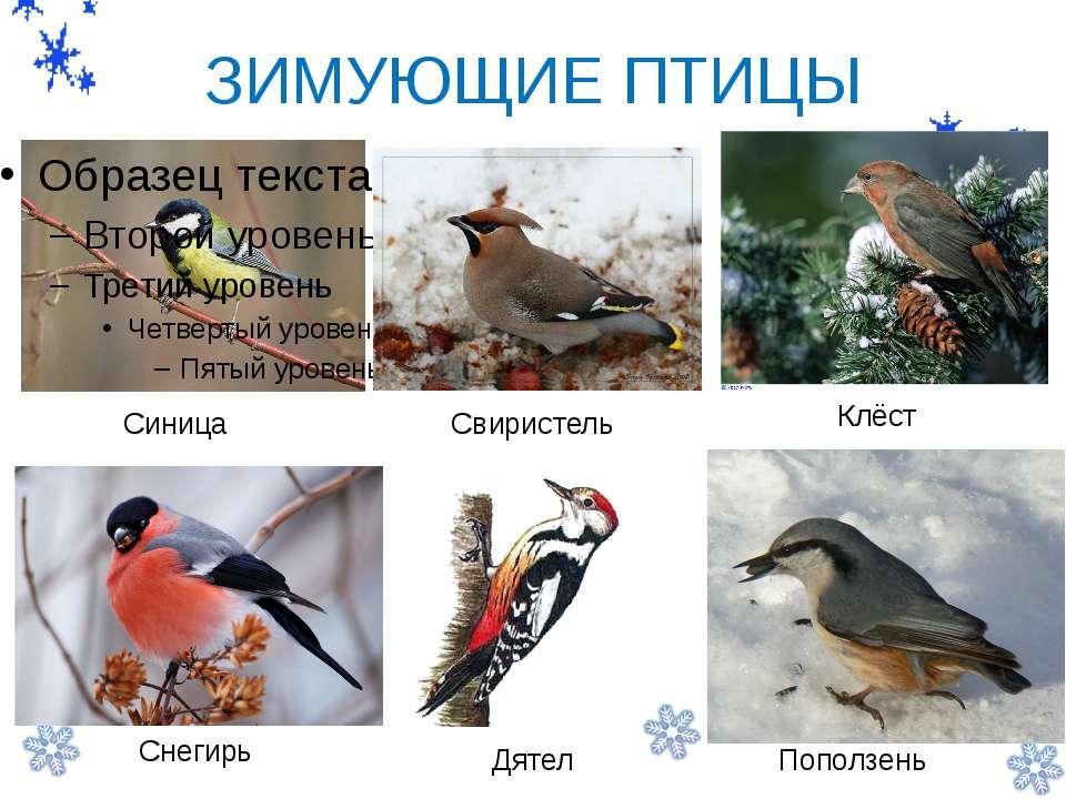 - ЗИМУЮЩИЕ ПТИЦЫ Синица Свиристель Клёст Снегирь Дятел Поползень