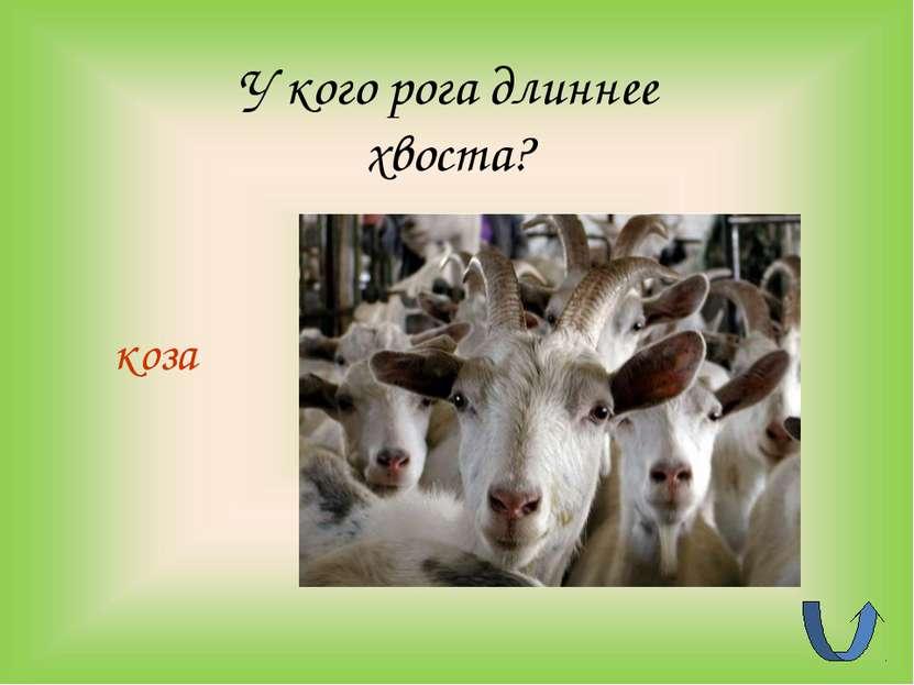 У кого рога длиннее хвоста? коза