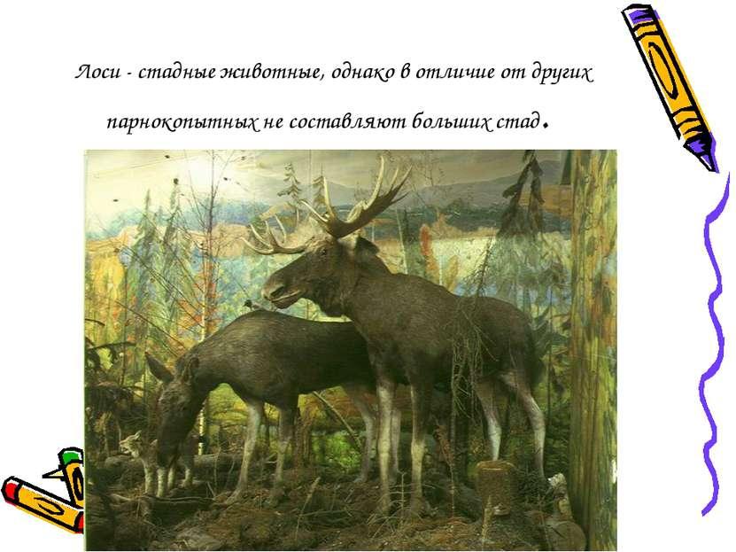 Лоси - стадные животные, однако в отличие от других парнокопытных не составля...