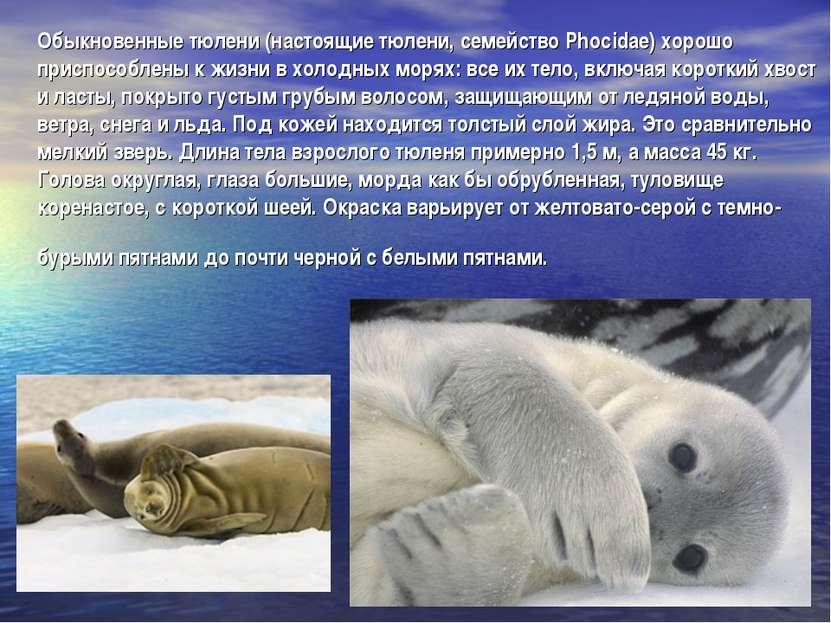 Обыкновенные тюлени (настоящие тюлени, семейство Phocidae) хорошо приспособле...