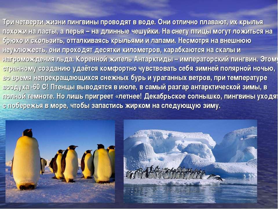 Три четверти жизни пингвины проводят в воде. Они отлично плавают, их крылья п...